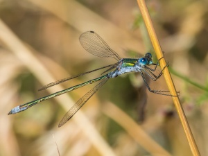 Emerald Damsel male