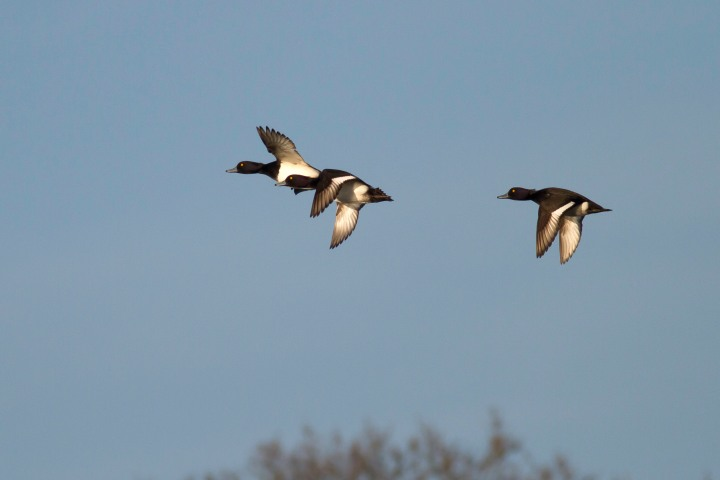 Tufted Ducks in Flight